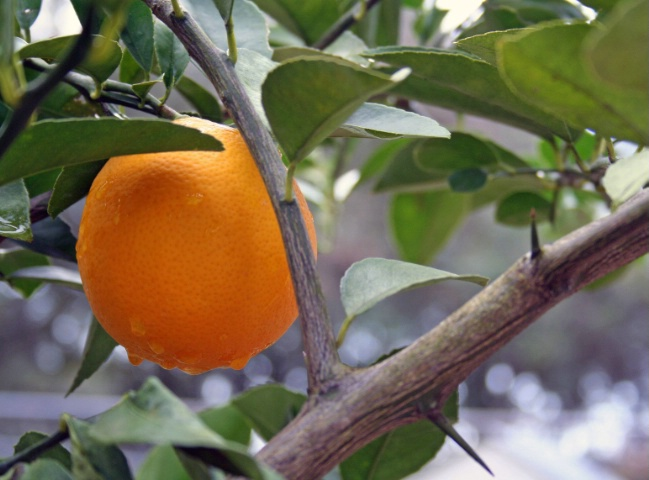 showered  on citrus.........