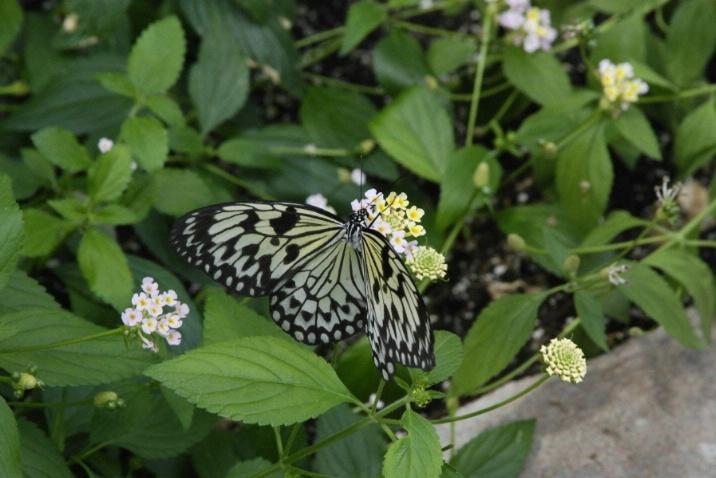 Papillo Demoleus - Butterfly