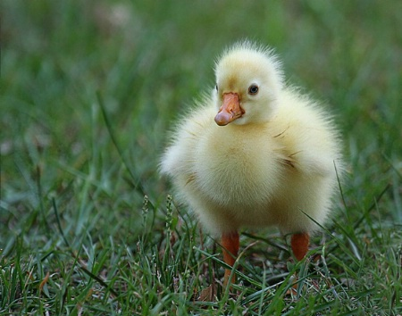 Little Gosling