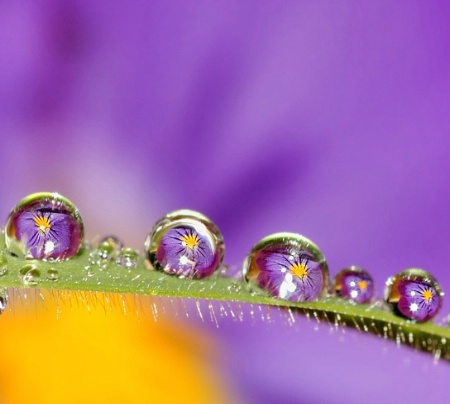 Pansy refraction
