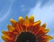 Rising Sun Flower