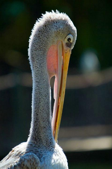 Pelican Profile 1