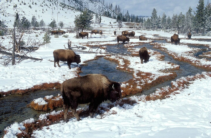Bison Graze - ID: 3792035 © Gary W. Potts