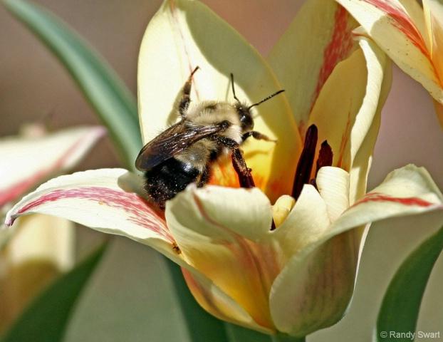 Pollen Busy Bumble