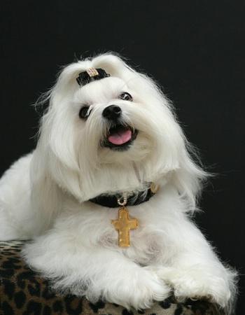Jay-Jay Maltese dog