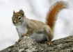 Red squirrel on a...