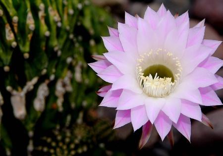 Brain Cactus in Bloom II