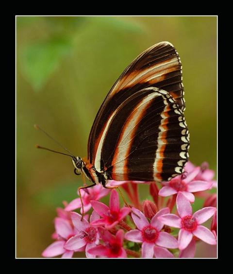 Dryadula phaethusa