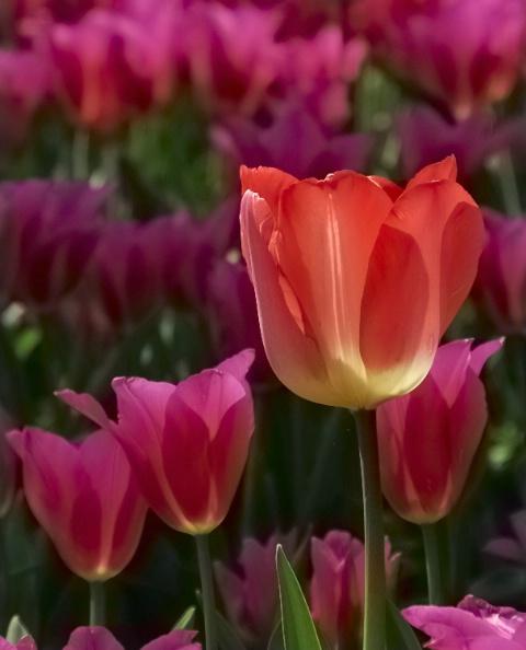Mister Tulip Nr. 6
