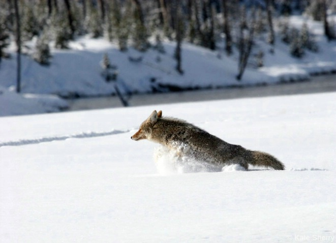 Coyote leaping to safety - ID: 3810988 © Katherine Sherry