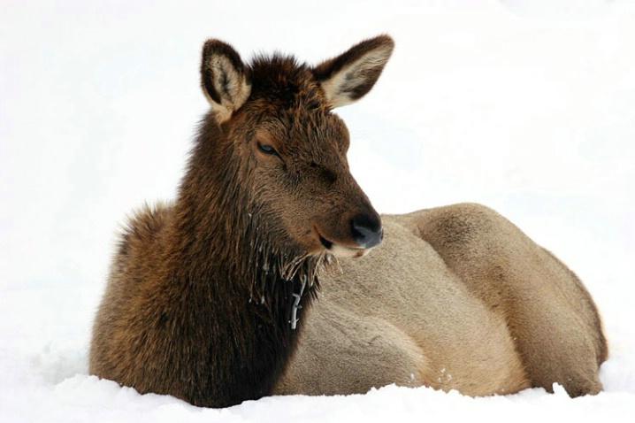 cold_elk - ID: 3837059 © Katherine Sherry