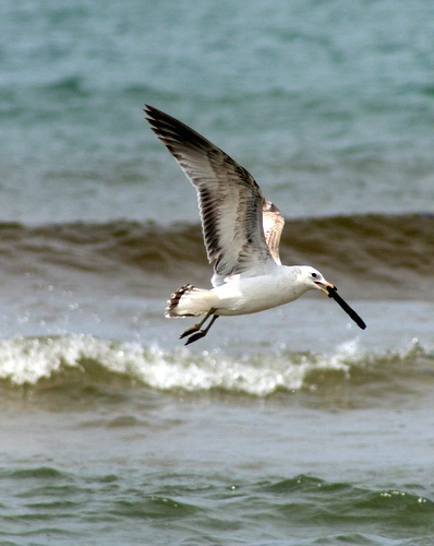 Seagull carrying cross