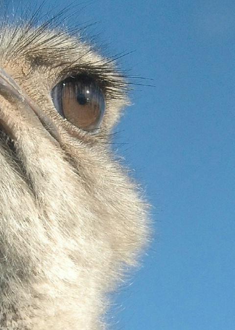Bird's Eye Emu