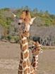 Jest Giraffes