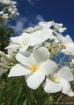 Heavenly Plumeria...