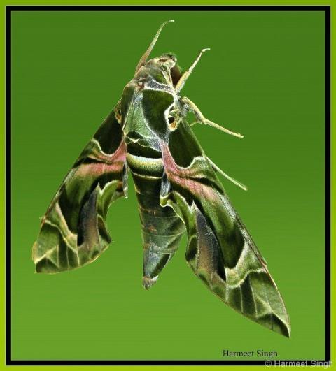 Green Daphnis neri