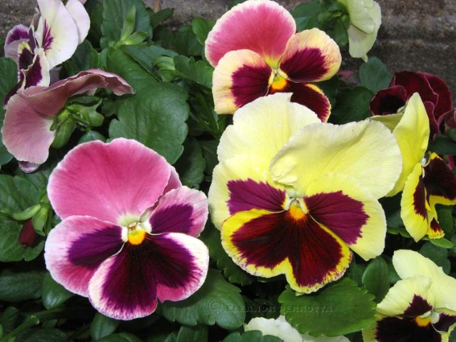 MOTHER'S DAY PANSIES