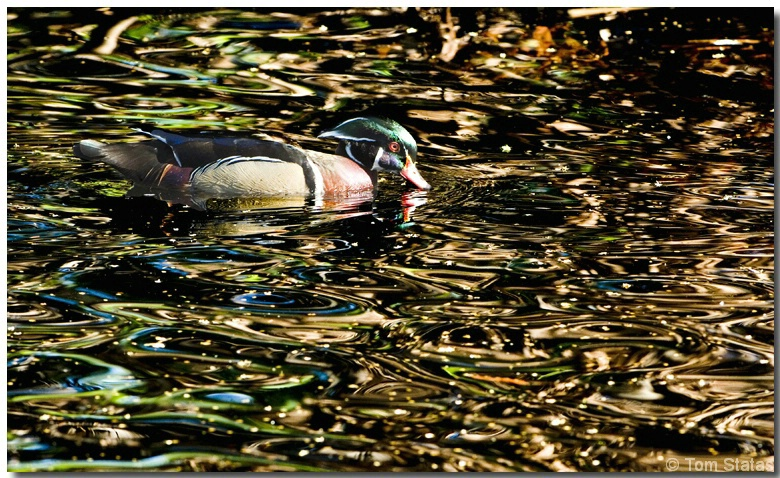 Wood Duck Reflections - ID: 3873757 © Thomas  A. Statas