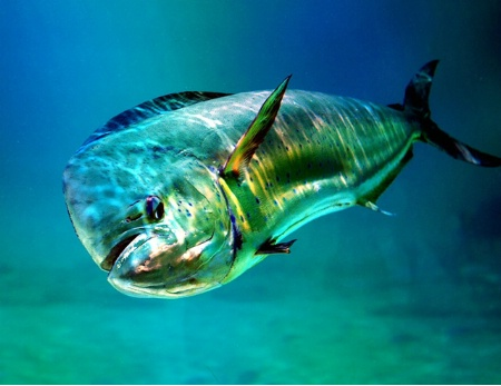 dolphinfish.