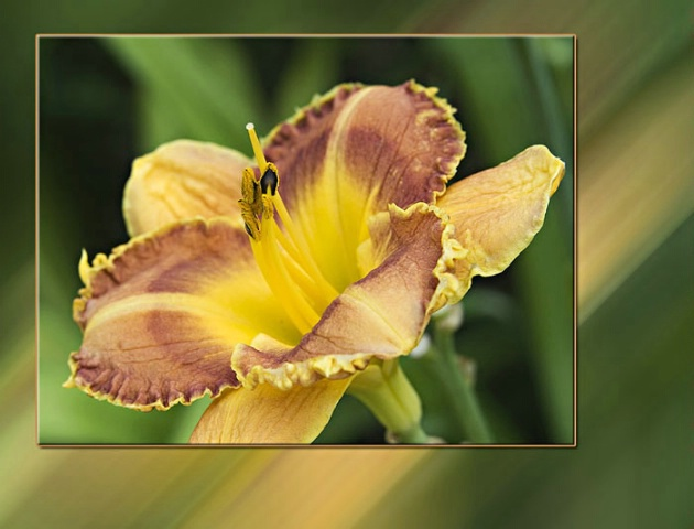 Daylily in Motion