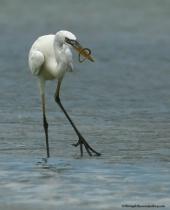 White Heron Stroll