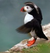 Puffin Flapping
