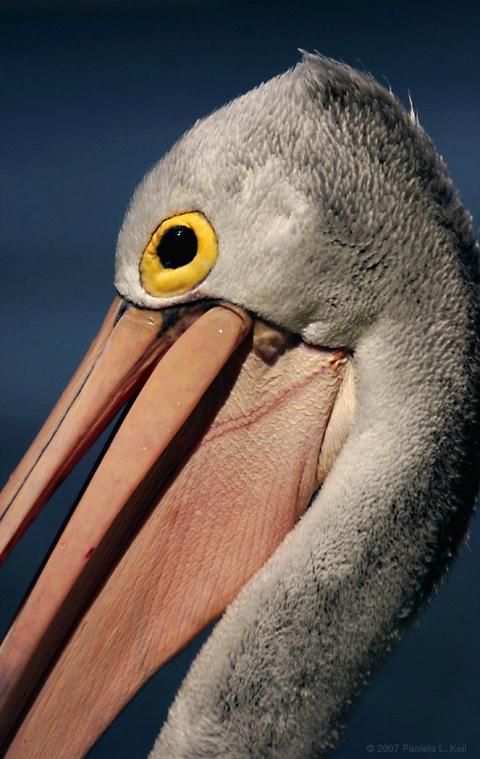 A Pelican's Smile