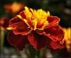 marigold_beauty