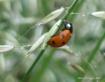 ladybird, ladybir...