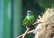 Green Bee Eater!