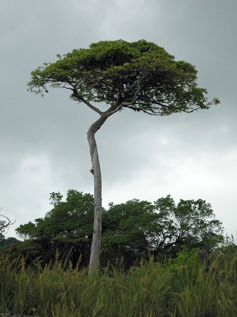 Costa Rican Tree