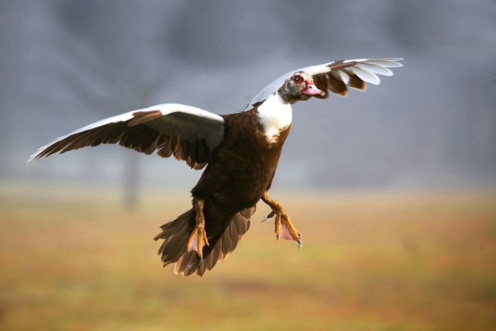 The Graceful And Beautiful Muscovy