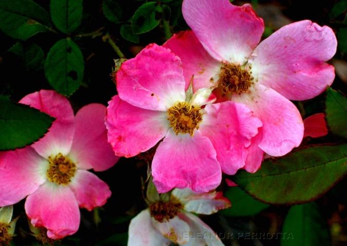 """""""Shrub roses - 1"""""""
