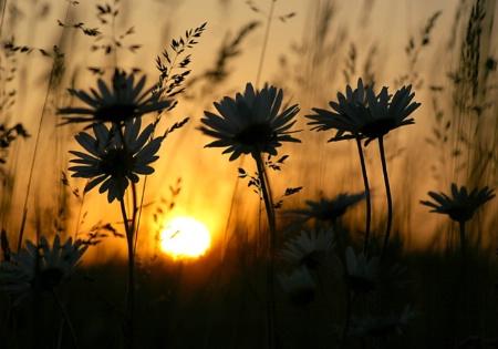 Sunset Daisies