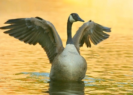 Goose On Gold