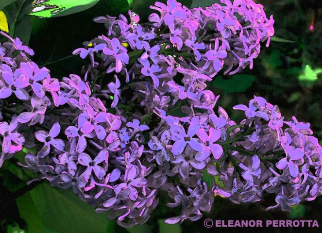 """Lilac #1"""