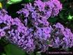 """Lilac #1""..."