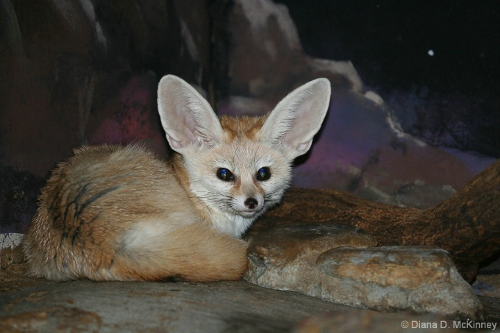 Fenneca Fox
