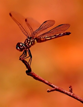 Copper Dragonfly
