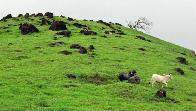 Hillside & The Cows