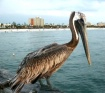 Pelican on Clearw...