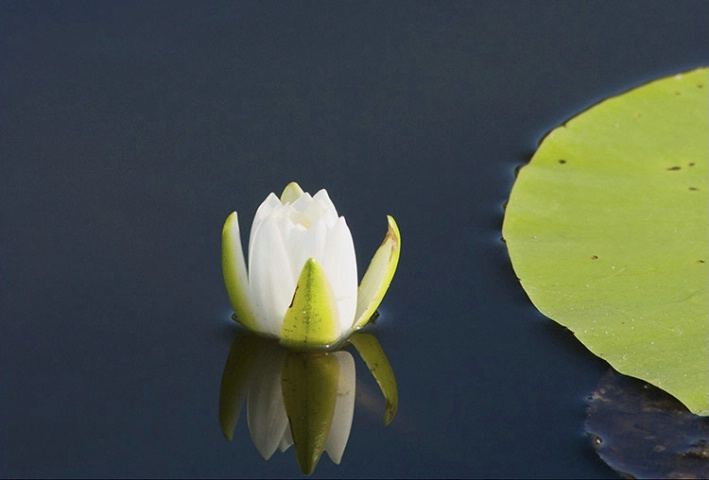 Water Lilly & Pad