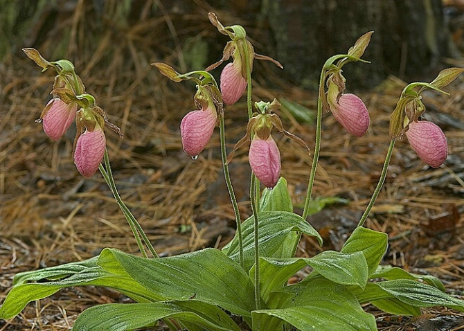Pink Lady Slipper, Clemson Forest, SC - ID: 4080620 © george w. sharpton