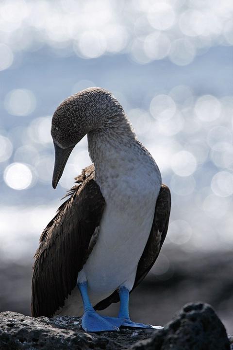 Bluefooted boobie