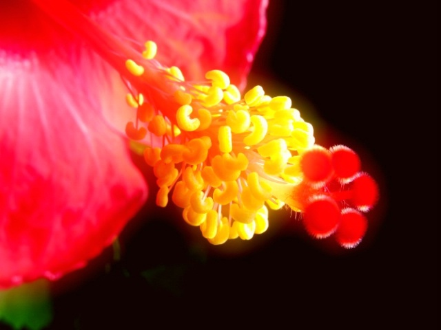 Hibiscus - Close-up