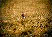 Crouching pheasan...