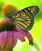 Monarch on Cone F...