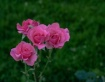 Rose Buket