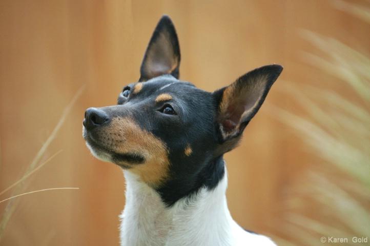 Toy Fox Terrier - ID: 4110269 © Karen E. Gold