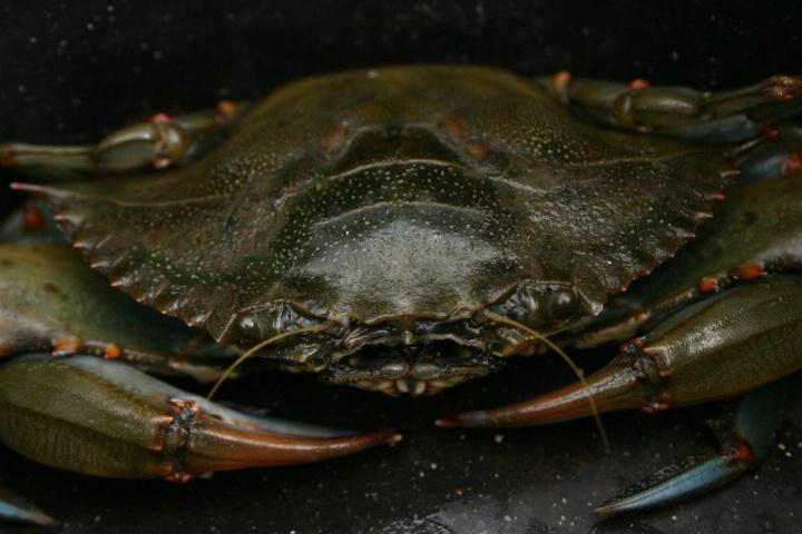 Blue Claw Crab - ID: 4122142 © Wayne R. Wright